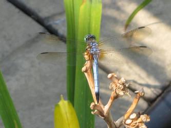 Dragonfly by Avatar5913