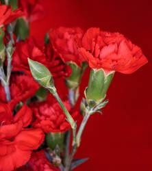Carnations  by nikoletteseraphine