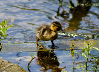 Photo: Duckling by Mariesen