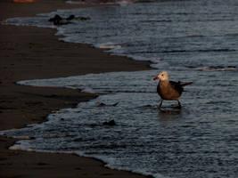 Gull by hypurlilone