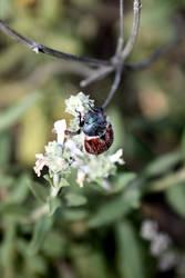 Beetle by hypurlilone