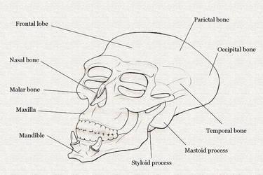 Skull Diagram by NezumiWorks