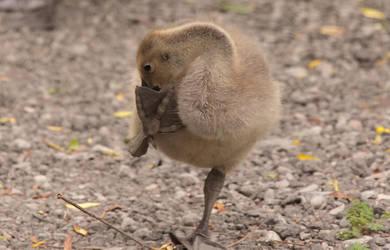 Silly Goose 2 by Stirk-Bostaurus