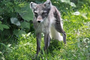 Tiny Fox by Stirk-Bostaurus