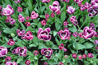 Tulips .2 by Lockheed815