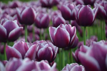 Tulips .3 by Lockheed815