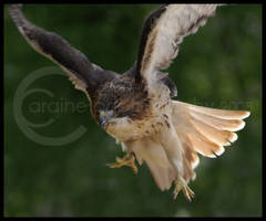 Red Tail Hawk by araine86