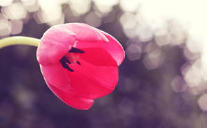 red tulip. by by-sannee