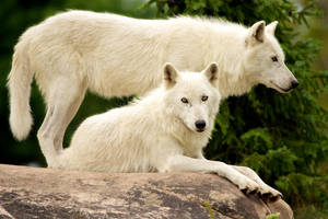 August CPM Art Challenge - 1308 White Wolves by ColoredPencilMag