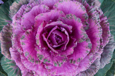 Ornamental Cabbage by ColoredPencilMag