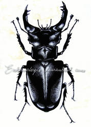 Stag beetle by Entomologia