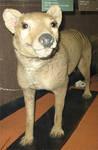 Rothchild Thylacine 4 by t-subgenius