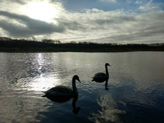 Swans at Brockholes by MontyMouse