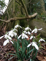 Spring Snowdrops by MontyMouse