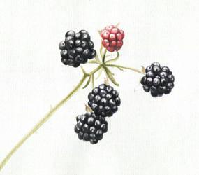 Blackberry by KattyC