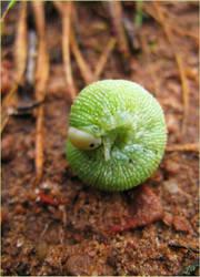Light Green Larva by JoannaMoory