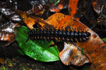 Costa Rica - Caterpilar by LLukeBE