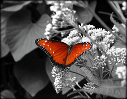 Butterfly Selective Color by Sugaree-33