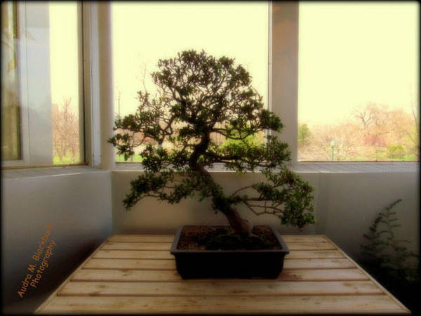 Bonsai Tree by Sugaree-33
