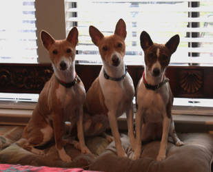 Basenjis Three by StarofAirdrie
