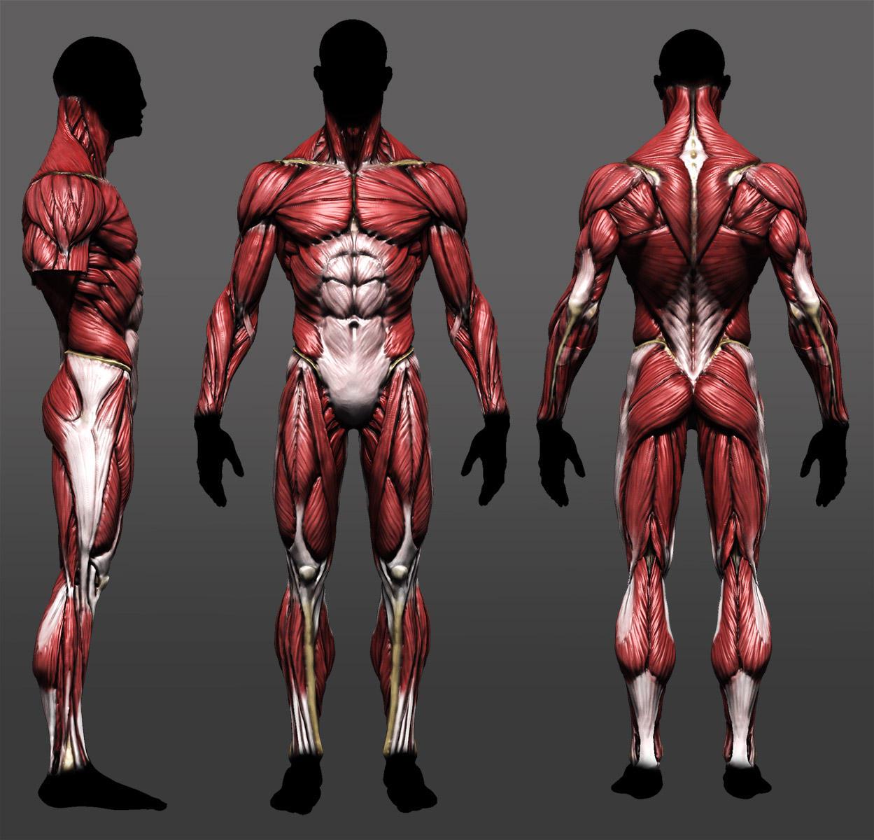 Anatomy study update by mojette