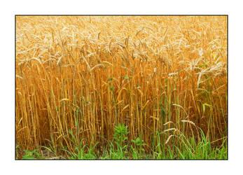 Wheat. DSCN0178, with story by harrietsfriend