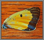 Butterfly wing. L1000770, with story by harrietsfriend