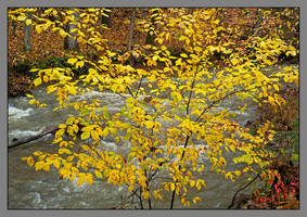 Yellow bush by stream. L1001093, with story by harrietsfriend