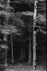 wind in the pines by andrewpershin