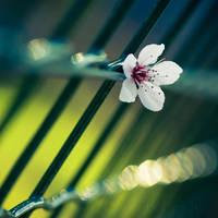 Cherry Blossom by Somebody--else