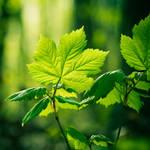 Les feuilles vertes by Somebody--else