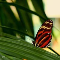 Dryadula Phaetusa by Somebody--else