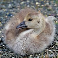Baby Goose by Kekilen