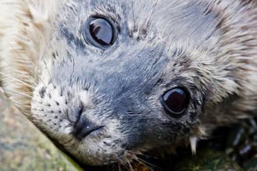 Baby seal by Kekilen