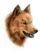 Finnish spitz in colors by asbolos