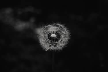 Dark Dandelion.. by Activvv