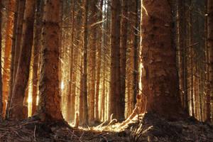 Dawn pine by RoB-FranKsDad