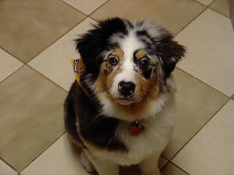 Puppy Milo by followingseas