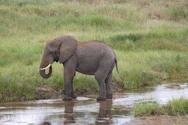 Elephant 05 by syoul-stock
