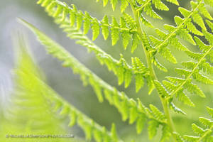 Fern by MSimpsonPhotos