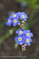Forget Me Nots 2 by MSimpsonPhotos