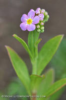 Pink Forget Me Not by MSimpsonPhotos