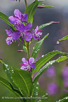 Fireweed 2 by MSimpsonPhotos
