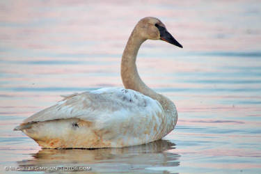 Swan on Beluga Lake by MSimpsonPhotos