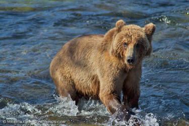Bear Gaze by MSimpsonPhotos