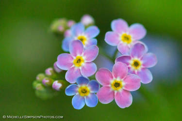 Forget Me Not Rainbow by MSimpsonPhotos