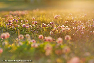 Golden Clover by MSimpsonPhotos