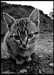 BW serious cat by AlexBlood