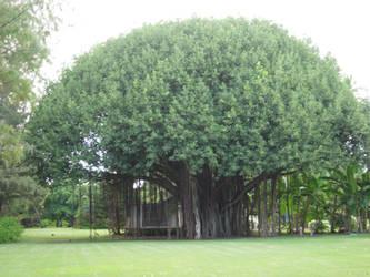 Banyan Tree by Kimashi-Mutsuyama