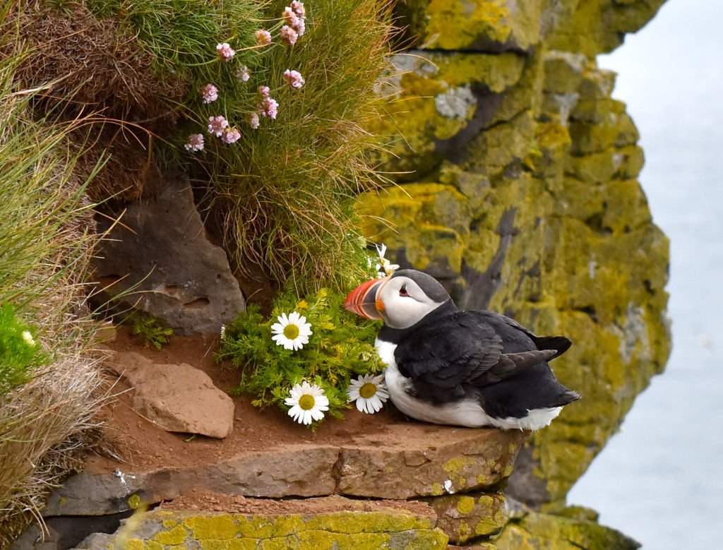 Latrabjarg Puffin by WildCodyPhotography